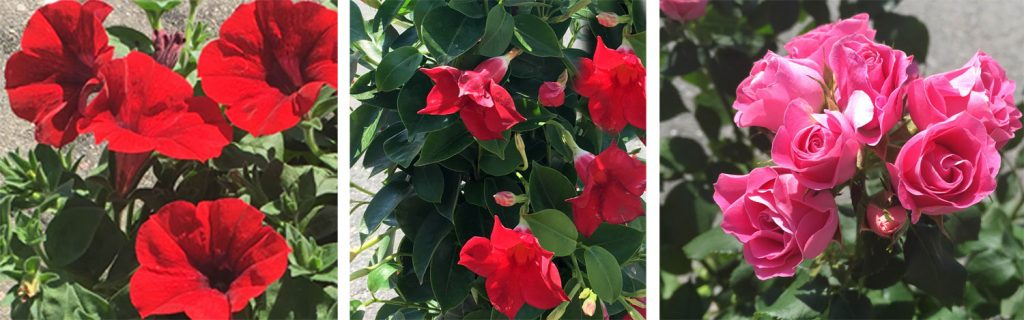 bägarranka-petunior-rosor